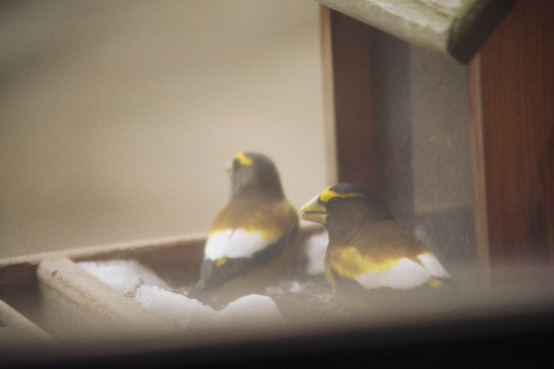 lnt-birdfeeder-grosbeaks.jpg