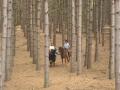 mt-tom-red-pine-forest.jpg